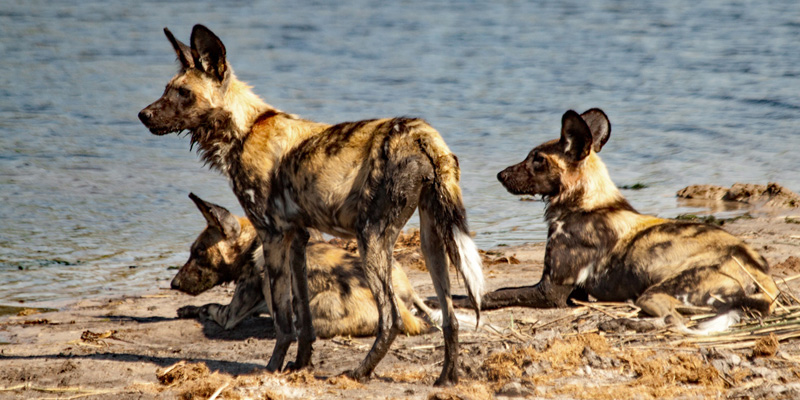 Khwai Concession African Wild Dog