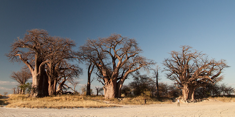 Baines Baobabs in Nxai Pan National Park